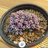 희성미인19051401|Pachyphytum oviferum