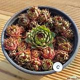 호랑이발톱바위솔19051401|Sempervivum hawouthii