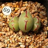 C. bilobum ssp(빌로붐)|