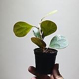 휘커스델토이데아 소품 수입식물 101519950|