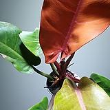 필로덴드론프린스오브오렌지 수입식물 공기정화식물 355014970|