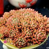 다글다글 핑클루비 중품|Sedeveria pink rubby