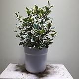 스윗하트고무나무 공기정화식물 354512970|Ficus elastica
