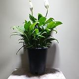 소엽스파트필름 대품 공기정화식물 355012960|