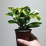 골드페페 칼라페페 소품 공기정화식물 15203520|