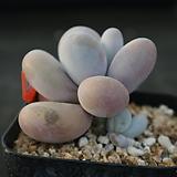 염미인 124|Pachyphytum oviferum