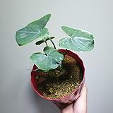산토소마  수입식물 알로카시아 253529925|Alocasia