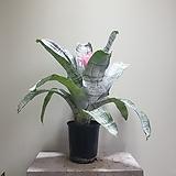 카시안타 공기정화식물 354524912|