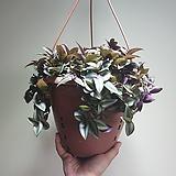 자주달개비 제브리나달개비 공중식물 507011960|