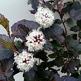 자엽국수나무(굵은 외목특품)-동일품배송|