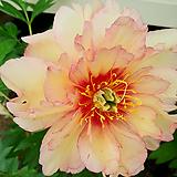 일본큰꽃작약-엘레강스끝내주는향기|