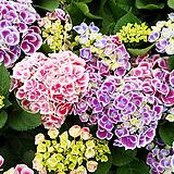 황홀한큰꽃수국-홀리아넬-수입|Hydrangea macrophylla