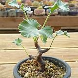 미라블 아프리카식물 (뿌리있어요)|