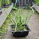 시페루스/수중식물/수생식물/수경/대나무/사각통 
