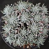 화이트그리니 자연목대 132|Dudleya White gnoma(White greenii / White sprite)