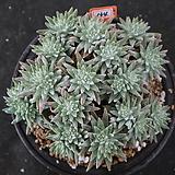 화이트그리니 자연목대 134|Dudleya White gnoma(White greenii / White sprite)