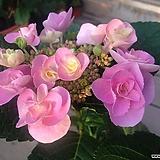핑크 장미 수국 꽃 2대|