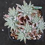 화이트그리니 자연목대 136|Dudleya White gnoma(White greenii / White sprite)