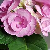 수국,프로프즈|Hydrangea macrophylla