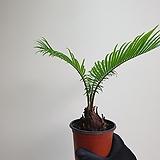 소철 소품 공기정화식물 25359950|