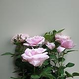 사계장미 중품 공기정화식물 꽃 355013980|