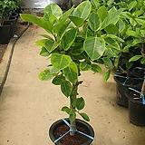 뱅갈고무나무 실속형 공기정화식물 8011034918|Ficus elastica