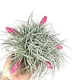 휴스톤틸란드시아 / 틸란드시아 / 미세먼지제거 / 공기정화식물 /에어플랜트|Tillandsia