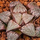 진주 x 특백픽타(珍珠 x 特白picta)-03-25-No.2094|Haworthia picta