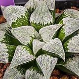 피그마에아 실생(pygmaea 實生)-04-07-No.3639|Haworthia pygmaea
