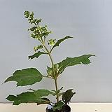 겹 떡갈잎수국.겹꽃이라 풍성한 솜사탕 같은 꽃을 보여줄겁니다,|Hydrangea macrophylla