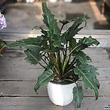 셀렘 공기정화식물|