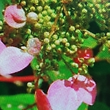 분홍바위수국|Hydrangea macrophylla