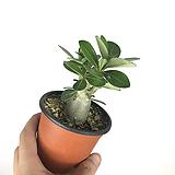 석화 / 사막의장미 / 플랜테리어 / 공기정화식물|
