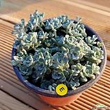 은설19051601|Sedum spathulifolium