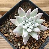 화이트그리니 2두군생(분지중)|Dudleya White gnoma(White greenii / White sprite)