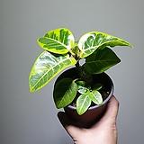 소묵 뱅갈고무나무 소품 묵둥 10203920|Ficus elastica
