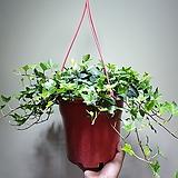 아이비 공중식물 공기정화식물 507011960|Heder helix