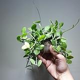 뉴디시디아애플그린 실속형 공중식물 40604525|