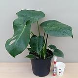 몬스테라-이국적인 느낌의 시원스럽고 넓은 잎이 매력적인 공기정화식물 몬스테라입니다~!!!|