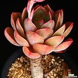 묵은목대 핑키 2|Echeveria cv Pinky
