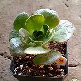 에오니움수화 Aeonium canariense
