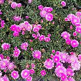 송엽국.2개.분홍색꽃.월동짱!.돌틈사이도 가능합니다.늦가을까지 계속하여 꽃이 핍니다.|