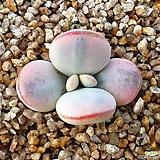 방울복랑금 (뿌리있어요)|Cotyledon orbiculata cv variegated