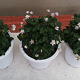 풍로초.흰색꽃.베란다월동.따뜻하면 꽃이 계속하여 핍니다.상태굿.|