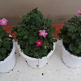 풍로초.핑크색꽃.베란다월동.따뜻하면 꽃이 계속하여 핍니다.상태굿.|
