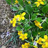 오공.노랑꽃.4개.월동짱!.상태굿.늦가을까지 꽃이 계속하여 핍니다.|