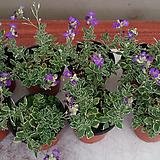 꽃다지.4개.보라색꽃.(여성스러운꽃).월동가능.늦가을까지 꽃이 계속하여 핍니다.|
