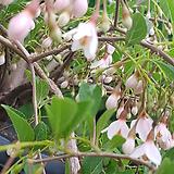 분홍수양때죽.특대품|