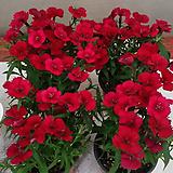 석죽.패랭이.(빨강색).4개.월동짱!.늦가을까지 꽃이 계속하여 핍니다.|