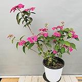 분홍산수국 (노지월동가능) 동일품배송|Hydrangea macrophylla